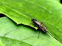 Sawfly ? Alder woodwasp 8.7.19 (ericy202) Tags: sawfly possiblyxiphydriacamelus leaf