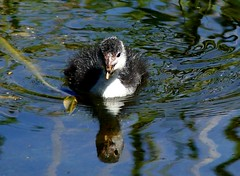 Coot chick 2.7.19 (ericy202) Tags: coot chick water reflection
