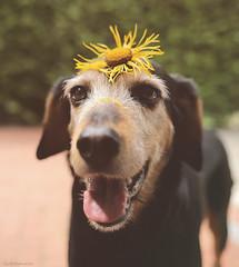 You are my little flower 🌻🌼💕 💖 💗 (lichtspuren) Tags: lemmy lemmel bracke hellenichound hellinikosichnilatis blackandtan braque dog hund friend lichtspuren