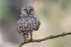 180 º - Mochuelo europeo (Sento74) Tags: mochueloeuropeo athenenoctua aves rapaces búho owl owls nikond500 tamron150600g2