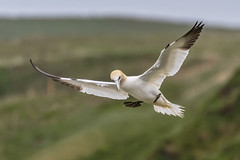 Gannet in flight (cazalegg) Tags: gannet rspb bempton cliffs birds nikon yorkshire nature wildlife sea