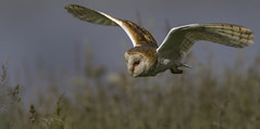 Close Encounters of the Owl kind! (Ann and Chris) Tags: amazing adorable barnowl barn owl close cute flying gorgeous impressive stunning unusual wild