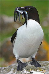 Razorbill (McRusty) Tags: razorbill treshnish isles lunga west coast highland scotland wild outdoor seabird sandeels bill natural bird