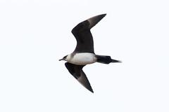 Arctic Skua at Barvikmyra S24A3209 (grebberg) Tags: bird barvikmyra vardø varanger finnmark norway june 2019 arcticskua tyvjo stercorariusparasiticus skua