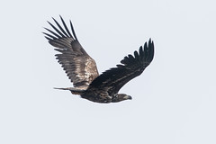 Immature White-tailed Eagle at Barvikmyra S24A3195 (grebberg) Tags: bird barvikmyra vardø varanger finnmark norway june 2019 immature whitetailedeagle havørn haliaeetusalbicilla eagle haliaeetus raptor birdofprey