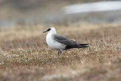 Arctic Skua at Barvikmyra S24A3229 (grebberg) Tags: bird barvikmyra vardø varanger finnmark norway june 2019 arcticskua tyvjo stercorariusparasiticus skua
