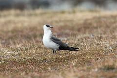 Arctic Skua at Barvikmyra S24A3228 (grebberg) Tags: bird barvikmyra vardø varanger finnmark norway june 2019 arcticskua tyvjo stercorariusparasiticus skua