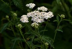 Yarrow (Diane Marshman) Tags: yarrow small tiny white flowers summer blooming blooms tall perennial garden landscape plant green stem leaves buds pa pennsylvania nature