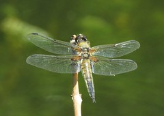 Four Spotted Chaser (brianwaller703) Tags: four spotted chaser
