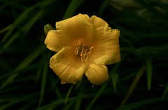 Daylily (Diane Marshman) Tags: day lily daylily flower yellow bloom petals center tall perennial garden landscape plant summer blossom blooming pa pennsylvania nature