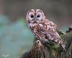 Tawny owl (Andy Davis Photography) Tags: strixaluco owl tawny woods woodland forest stump perch moss summer sony