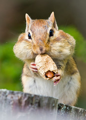 Feel'n A Bit Nutty (SavingMemories) Tags: ontario canada chipmunk chippy critter cute mouse squirrel peanut wildlife wilderness campingwildlife cheeks furry fuzzy nature