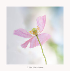 Anmutig (Diana Ruder Photography) Tags: mohn delicat beautiful beauty blooming bokeh blume macro light detail flower floral sun sommer dianaruder poppy highkey natural natur nature photography white
