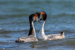Great Crested Grebes (Podiceps cristatus) Futen (Ron Winkler nature) Tags: crested grebes podicepscristatus podiceps cristatus fuut bird birding birdwatching birdwatcher nature wildlife netherlands nederland europe canon 5div 500mm 14iii