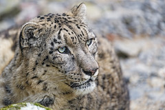 Villy looking at his left (Tambako the Jaguar) Tags: snowleopard big wild cat male fluffy cute close portrait face looking side eyes lying resting posing stones rock zürich zoo switzerland nikon d5