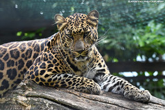 African leopard - Pakawi Park (Mandenno photography) Tags: animals animal zoo pakawipark pakawi park belgie belgium bigcat bigcats cats african leopard leopards africanleopards nature ngc natgeo natgeographic