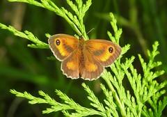 Gatekeeper Butterfly (Pyronia tithonus) (Nick Dobbs) Tags: insect butterfly gatekeeper pyronia tithonus hampshire