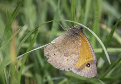 Meadow Brown (A Journey With A New Camera) Tags: butterfly nature insect meadowbrown uk summer