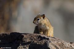 Tree Squirrel (leendert3) Tags: nature southafrica wildlife naturereserve wildanimal wilderness krugernationalpark leonmolenaar mammal naturalhabitat treesquirrel ngc coth5 npc
