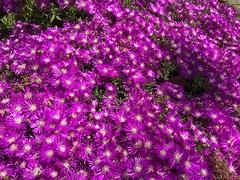 Sea of Purple (Andrew Hidas) Tags: flowers blooms spring sangabrielmountains groundcover purple
