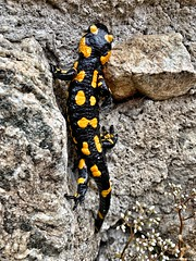 Join all the dots ... (Federico Fulcheri Photo) Tags: federicofulcheriphoto©️ italy piedmont freedom wild yellow black amphibian salamandra salamander nature nopeople outdoors snapseed iphonexsmax iphone apple