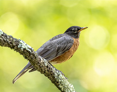 American Robin (will139) Tags: americanrobin robin turdusmigratorius bird truethrush passerine thrush songbird avian ornithology fauna nature beautyinnature plumage animal feathers migrant