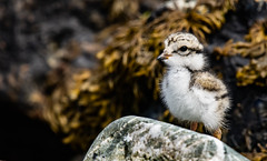 Ringed Plover Baby (moniquedoon) Tags: plover ringedplover chick baby cemlyn beach seaweed rocks sea shore birds anglesey wales vogel