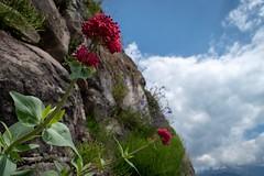 Cliffside color (mtb2470) Tags: naturephotography travel nikond5600 nikon flora getoutside outdoors suisse schweiz switzerland mountains flowers nature