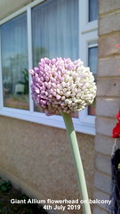 Giant Allium flowerhead on balcony 4th July 2019 (D@viD_2.011) Tags: giant allium flowerhead balcony 4th july 2019