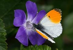 Tip Top Orange Tip (Ger Bosma) Tags: flower male spring whites aurore bloem mannetje orangetip oranjetipje aurorafalter anthochariscardamines pieridae whitebutterflies zorzynekrzeżuchowiec mariposamusgosa mariposaaurora weislingen pontalaranja 2mg292738filtered