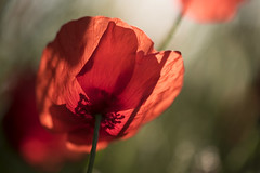 Jeux de transparence ** (Titole) Tags: backlit poppies poppy titole nicolefaton shallowdof shadow red thechallengefactory