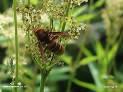 Hornet 07/07/2019 (the_greenman) Tags: waresleygransdenwoods wildlifetrust ancientwoodland thegreenman wwwwaresleywoodcouk conservation