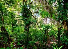 The Jungle (sirhowardlee) Tags: jungle forest trees vegetation wilderness selva dominicanrepublic caribbean latinamerica plants