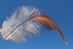 Cadeau venu du ciel ... (Présent direct from the sky ...) (Faapuroa) Tags: plume feather oiseau bird légèreté lightness thinness délicatesse finesse delicacy fineness duvet present cadeau nikon coolpix p1000