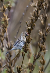redpoll (madziulka_a) Tags: redpoll poland nikon d800 200500mm wildlife bird nature