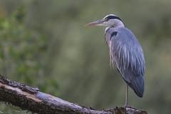 Grey Heron balancing (Servierduese) Tags: heron graureiher reiher wildlife birding