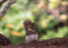 I've got a Secret (Eric Shwonek) Tags: shwonek naturephotography nature wildlife outdoors squirrel greysquirrel