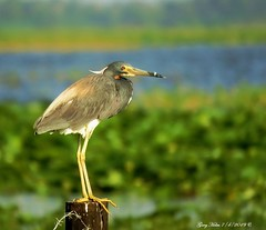 Tricolored Heron (Gary Helm) Tags: tricoloredheron bird birds wildlife nature animal outside outdoor image photograph usa florida osceolacounty lakekissimmee joeoverstreetlanding floridawildlife post perch water louisianaheron ghelm4747 garyhelm fencepost fly flight wings feathers