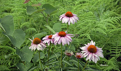 Coneflowers (mevans4272) Tags: flowers conflowers nature garden fly summer ferns