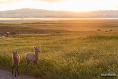 Bighorn Lambs at Sunset (kevin-palmer) Tags: badlands badlandsnationalpark southdakota summer july evening nikond750 sunset bighornsheep wildlife animals lambs two gold golden sunlight wall pinnaclesoverlook tamron2470mmf28