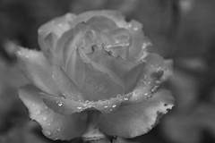 "Rosa tequila Sunrise in Monochrome, <a style=""margin-left:10px; font-size:0.8em;"" href=""http://www.flickr.com/photos/164680668@N08/48234772802/"" target=""_blank"">@flickr</a>"