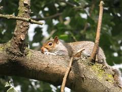 Grey squirrel (Lucinda Offer) Tags: croydon waddonponds waddon squirrel greysquirrel tree cute