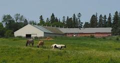Horses (Peter_Cameron) Tags: olympuspenf mzuiko75mmf18