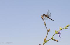 Libellule fauve (pcaze81) Tags: domainedesoiseaux ariège canonef100mmf28lmacroisusm occitanie libellule libellulefauve canoneos6d anisopteres libellula libellulafulva libellulidae dragonfly odonate