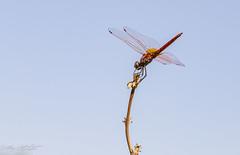 Trithémis annelé (pcaze81) Tags: domainedesoiseaux ariège canonef100mmf28lmacroisusm occitanie libellule canoneos6d anisopteres crocothemis crocothemiserythraea libellulidae dragonfly odonate trithémisannelé