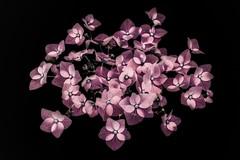 'Hydrangea' (Jeannette Maandag) Tags: flower lightbox invert colors fuji fujixt3 photoshop 35mm