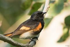 American Redstart (bjptada) Tags: americanredstart birds warbler