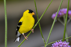 American Goldfinch (jt893x) Tags: 150600mm americangoldfinch bird d500 finch goldfinch jt893x male nikon nikond500 sigma sigma150600mmf563dgoshsms songbird spinustristis thesunshinegroup coth alittlebeauty coth5 ngc