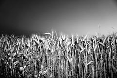 The French landscape (Hds Fotografie) Tags: france french frankrijk bw blackwhite blackwhitephotograpy zw zwartwit zwartwitfotografie landschap landscape sony sonya6000 sonyalpha6000 saintbaslemont wei weiden whey