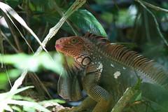 Green Iguana (Byron Taylor) Tags: costarica manuelantonio nationalpark wildlife nature iguana blackmandibledtoucan toucan reptile